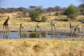 Un grupo de jirafa en una charca en etosha national park namibia sudáfrica — Foto de Stock