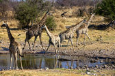 A group of giraffe near a waterhole in etosha national park namibia — Stock Photo