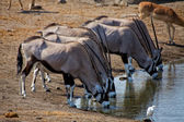 A group of oryx drinking water in a waterhole at etosha national park namib — Stock Photo