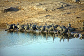 A group of helmeted guineafowl at etosha national park — Stock Photo