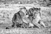 エトーシャ国立公園で遊んで 3 つのライオン カブスのグループ — ストック写真