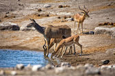 A kudu and blacked faced impala drinking in a waterhole at etosha national — Stock Photo