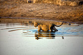 A lion crossing a waterhole at etosha national park namibia — Stock Photo
