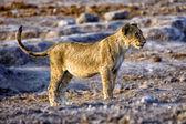 A lion cub in etosha national park namibia — Stock Photo