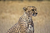 A nice cheetah in the grass at etosha national park namibia — Stock Photo