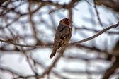 A red headed finch at etosha national park namibia — Stock Photo