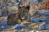 Un cachorro de león muy joven en el parque nacional de etosha namibia áfrica — Foto de Stock
