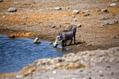 A warthog drinking water in etosha national park namibia — Stockfoto