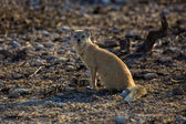 A yellow mongosse at etosha national park namibia africa — Stockfoto