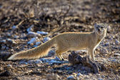 Etkin milli parkı namibya, sarı mongosse — Stok fotoğraf