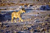 A young lion in etosha national park namibia — Stock Photo