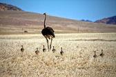 Un avestruz y sus cachorros cerca luderitz sperrgebiet parque nacional namibia afr — Foto de Stock