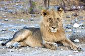 Beautifull leone dell'africa namibia etosha national park — Foto Stock