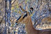 Close-up impala nero-affrontato nel parco nazionale di etosha — Foto Stock