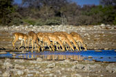 Blackfaced impala dricksvatten i etosha national park — Stockfoto