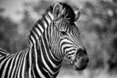 Burchell's zebra in etosha national park namibia — Zdjęcie stockowe