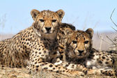 Cheetah i etoasha national park namibia — Stockfoto
