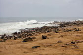 Colony of seal on the beach at cape cross seal reserve namibia africa — Stock Photo