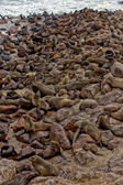Colony of seal on the beach at cape cross seal reserve near the skeleton co — Stock Photo