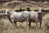 Cow in the namib naukluft national park namibia africa — Stock Photo