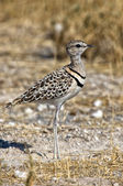 Double banded courser in etosha national park namibia — Stock Photo