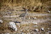 Double banded courser in etosha national park — Stock Photo