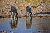 Drinking zebra at a waterhole in etosha national park namibia — Stock Photo