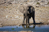Elephant drinking water in a water hole at etosha national park — Stock Photo