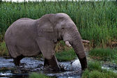 Elephant walking in the water at etosha national park namibia — Stock Photo