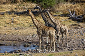 Group of giraffe near a waterhole in etosha national park namibia africa — Stock Photo