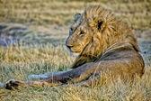Lion (panthera leo) in the grass of the etosha national park — Stock Photo