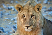 Lion close-up art etosha national park namibia africa — Stock Photo