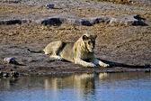 Lying lion near a waterhole at etosha national park namibia africa — Stock Photo