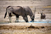 Oryx drinking in a waterhole in etosha national park namibia — Stock Photo