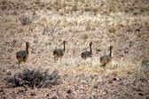 Strauß Cub in der Nähe von Lüderitz Sperrgebiet Nationalpark Namibia Afrika — Stockfoto