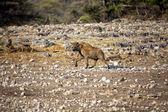 Spotted hyaena in etosha national park namibia africa — Stock Photo