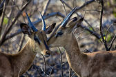 Two black faced impala in Etosha National park — Stock Photo