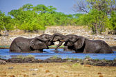 Two elephants playing in the water at etosha national park namibia — Stock Photo