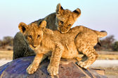 Two lion cubs at chudob waterhole at etosha namibia africa — Stock Photo