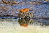 Twee leeuw cub drinken in een waterput op etosha national park namibië — Stockfoto