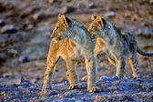 Two lion cubs looking at an elephant at etosha national park namibia africa — Zdjęcie stockowe