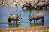 Two oryx drinking water at okaukuejo etosha national park — Stock Photo
