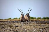 Two Oryx in Etosha National Park Namibia — Stock Photo