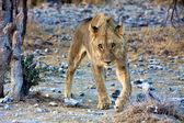 Young lion looking at me at etosha national park namibia africa — Stock Photo
