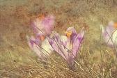 Vintage krokus kwiat — Zdjęcie stockowe