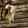 Cow skull on a wooden background — Stock Photo