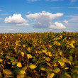 Stock Photo: Field with intensive farming of bean