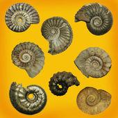 Different genres of ammonites — Stock Photo