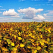 Field with intensive farming of bean — Stock Photo