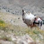 Desert landscape with horse in Northern Kurdistan, East Turkey — Stock Photo #8342581